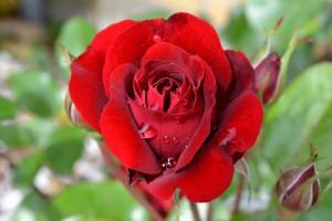 rose-776966_1280